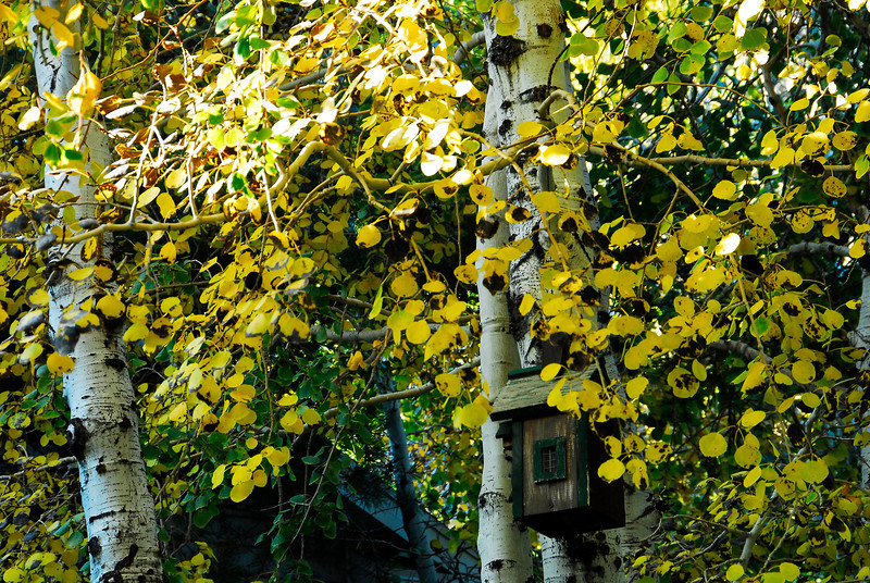 2011-10-25 – We expected to see our fill of fall colors while in Boston, but their colors were really late this year. We missed them by at least a week and maybe two. Things were still really green. But back home we are starting to get some good color in the valley. This is my front yard where the Aspens are turning yellow.