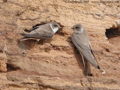 Bank Swallow, Sand Martin, Oeverzwaluw, Riparia riparia