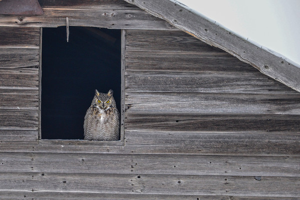 1-09-14 *^Great Horned Owl In Windows