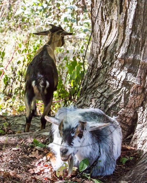 Goats-248.jpg