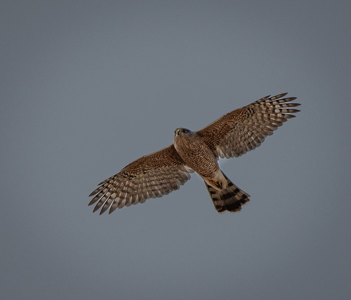 Cooper's hawk flyover