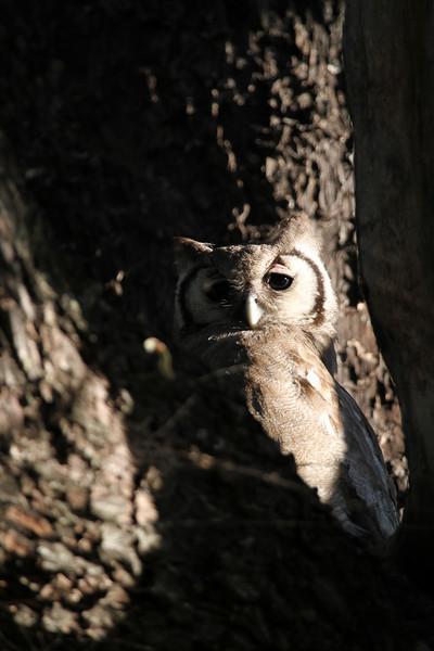 Verneaux's eagle-owl