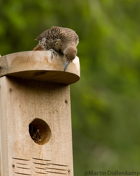 Flicker checking out a nest box.