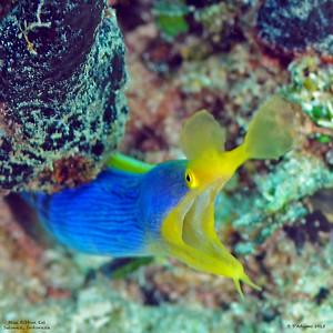 Blue Ribbon Eel, adult