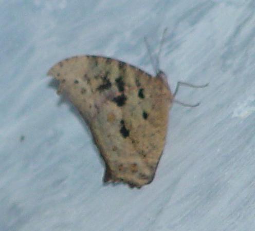 Melanitis leda (Common Evening Brown).