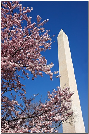 2006 Cherry Blossoms