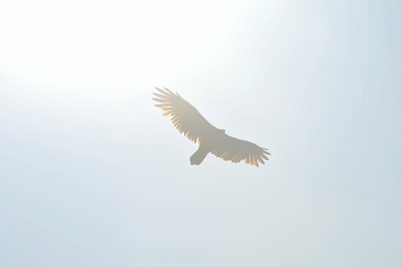 DSC_9152_icarus_vulture_lg.jpg
