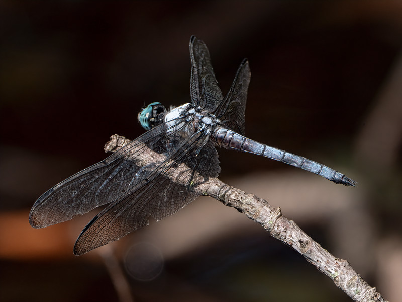 Great Blue Skimmer (Libella vibrans), male