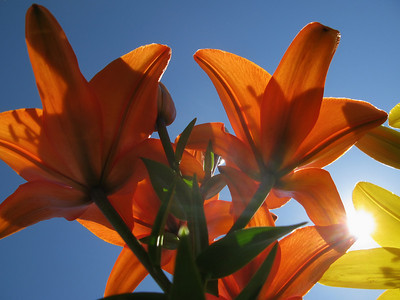 Lily & a sunny day