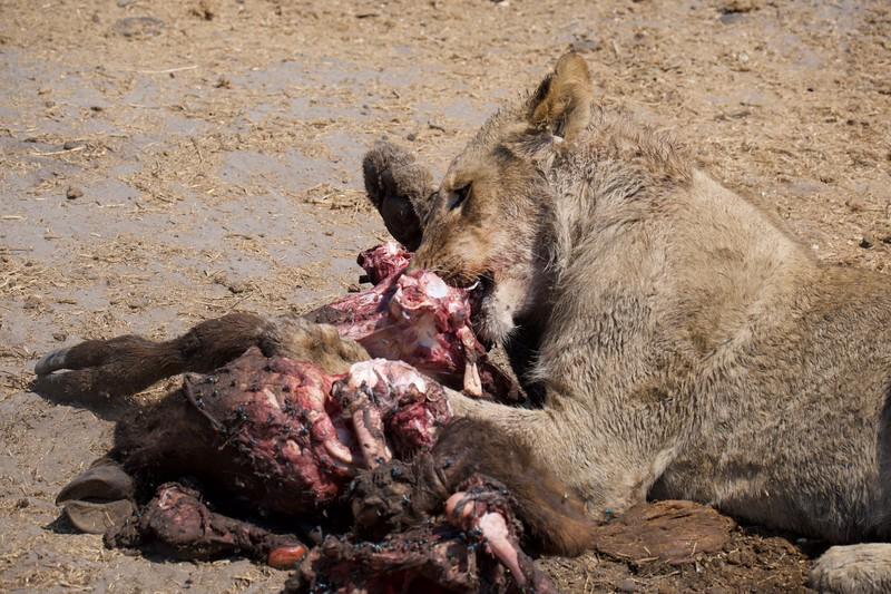 Lions eating small buffalo, Selinda Explorer camp, Botswana