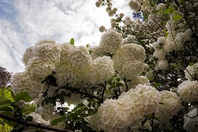 Reggi's Snowball Viburnum 2015