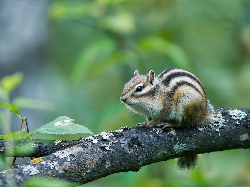 Tamias sibiricus - Siberische grondeekhoorn - Siberian chipmunk