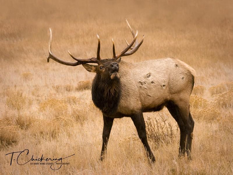 Bull Elk Bugling 2-1505695778562.jpg