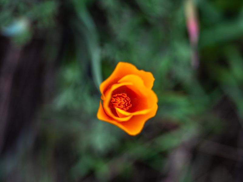 The Tao of the Poppy #4: The Tao of the California Poppy Wildflower Superbloom  Dr. Elliot McGucken Fine Art Landscape Nature Photography Superbloom Prints & Luxury Wall Art