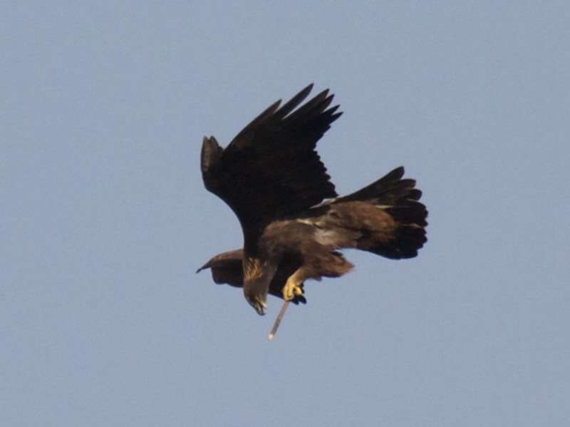 Golden Eagle Teddy Roosevelt National Park ND IMG_7078.jpg