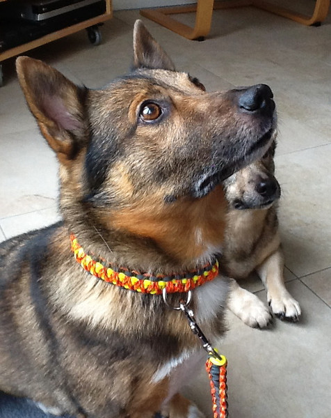 Kari's paracord halsband en riem
