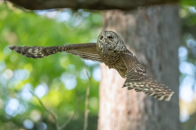 #1641 Barred Owl