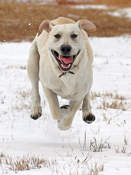 Happy Lab.jpg