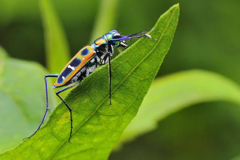 Tiger-Beetle-01.jpg