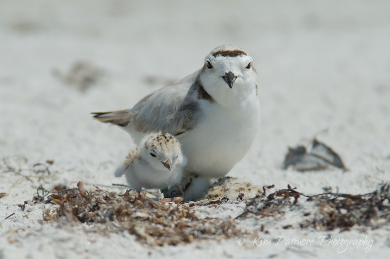 Snowy Plover and two one day old babies.  April 30, 2013 in Sanibel, Florida.