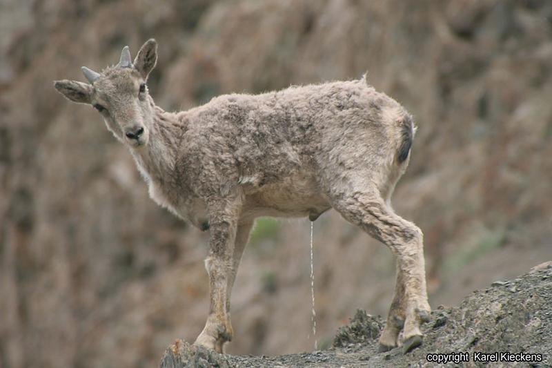 L.02.Spituk-Stok trek_028.Bleu sheep.jpg