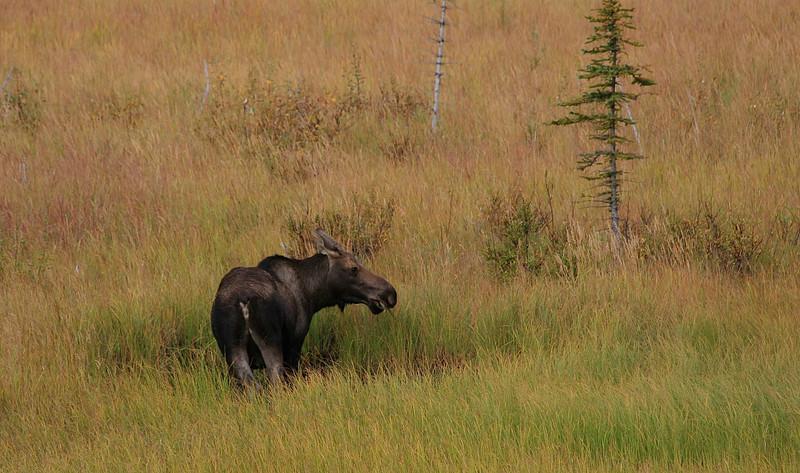 Mr Moose (Amerikaans eland), Alaska.