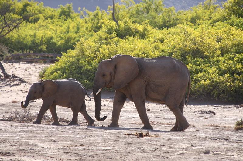 Desert adapted elephants