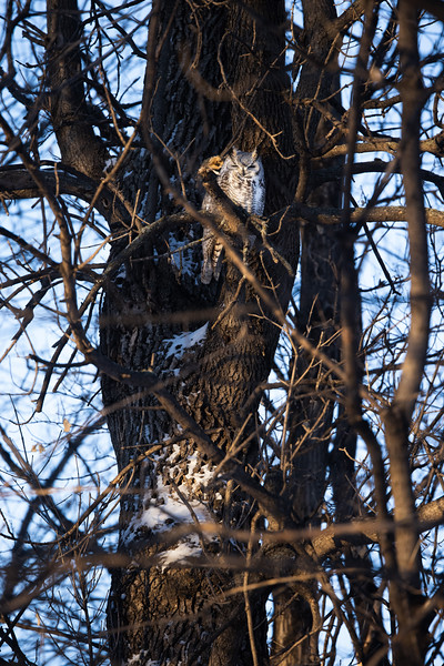 Great Horned Owl subarctic or west taiga subspecies Red River of the North Moorhead Clay County MN  IMGC5471.jpg