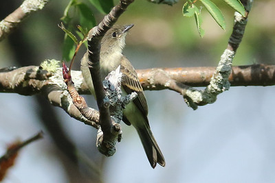Eastern King Bird