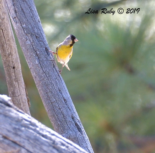 Lawrence's Goldfinch  - 6/30/3019 - Paso Picacho Campground