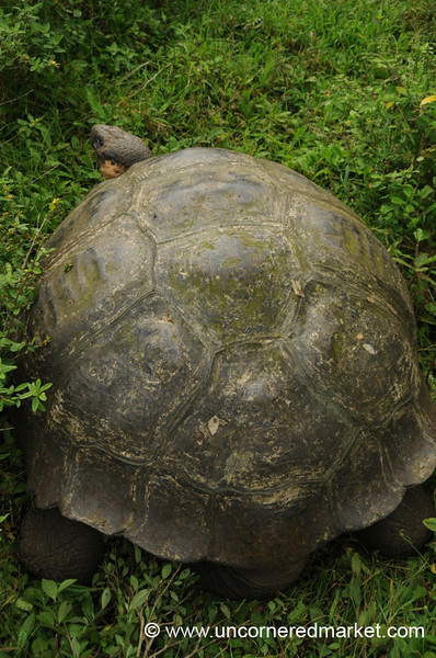 Big Body, Small Head - Galapagos Islands