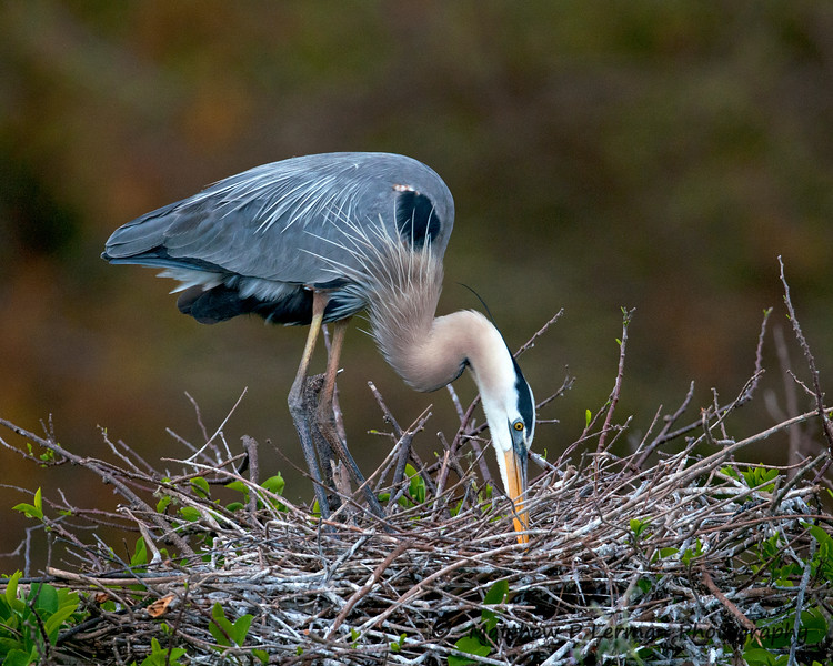 Bird Great Blue Herron_5507.jpg
