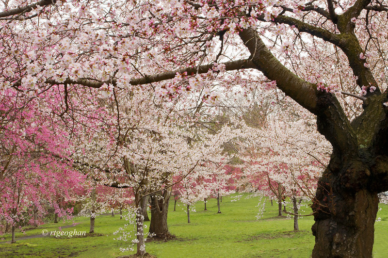 April 13_BranchBrookCherryBlossoms_7854.jpg