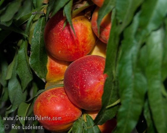 Leprechaun Natural Dwarf Nectarine