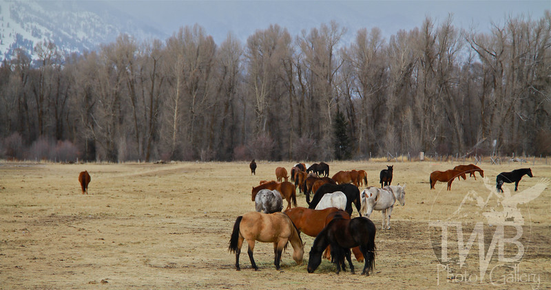 horses ,grazing at the foothills of the Tetons
