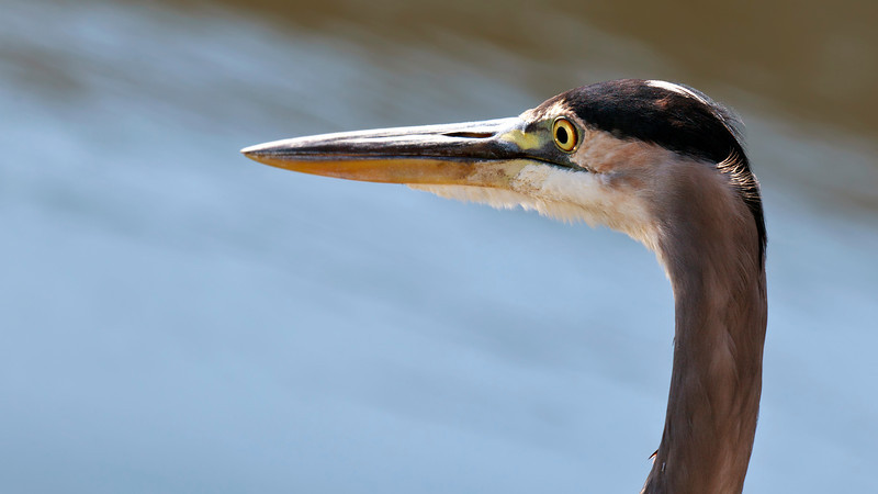 Portrait of a great blue heron.
