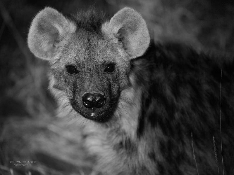 Spotted Hyena, b&w, Mashatu GR, Botswana, May 2017-1.jpg