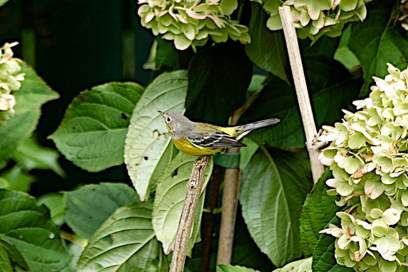 Magnolia Warbler_2785 - Version 2.jpg