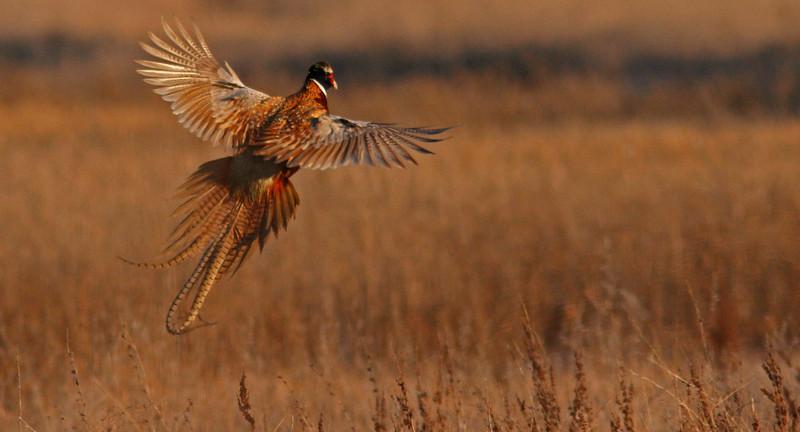 Ring-necked Pheasant, Sacto
