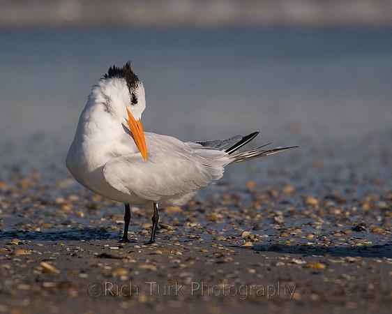 Shorebirds (Plovers, Sandpipers, Terns)