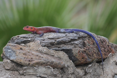 Mwanza Flat-head Rock Agama