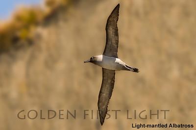 Light-mantled Albatross, South Georgia