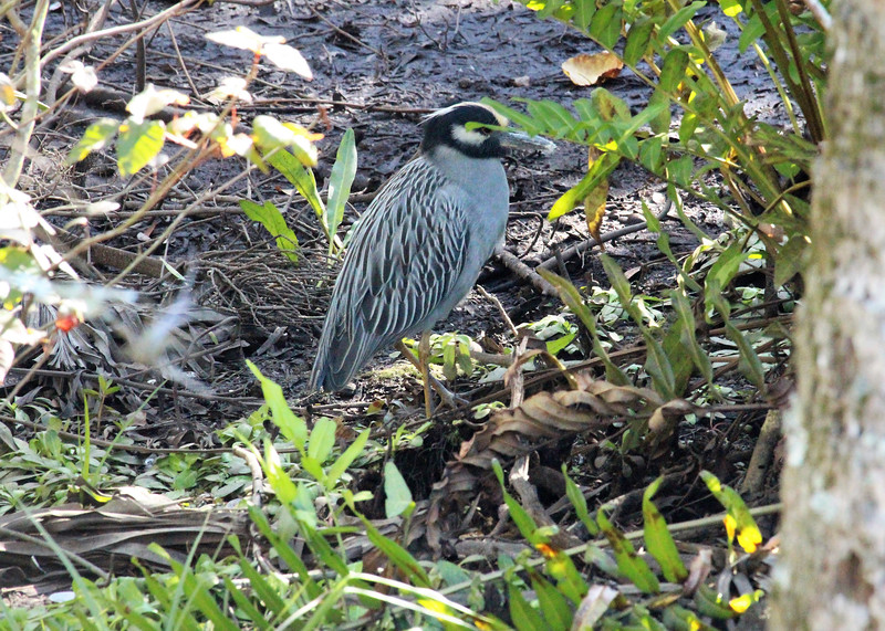 5_23_19 Yellow Crowned Night Heron.jpg