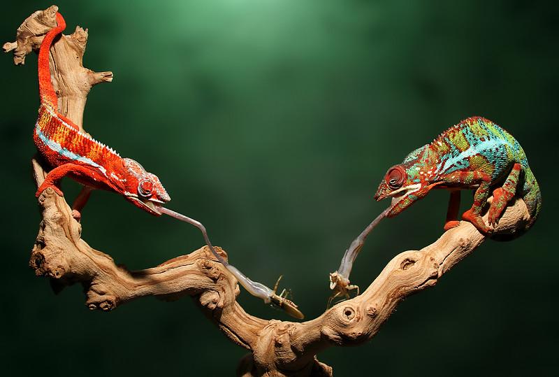 Dining Chameleons.jpg