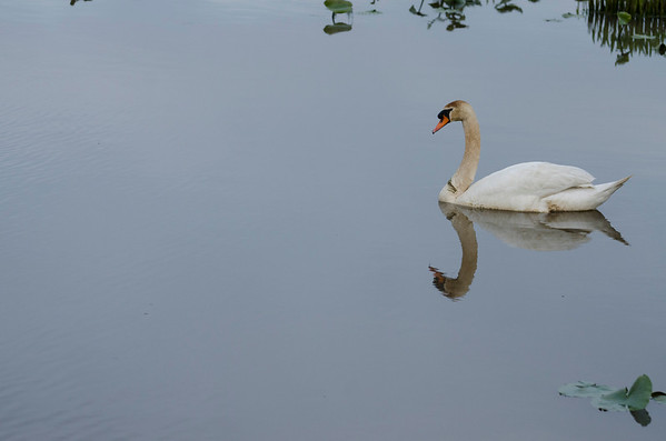 2013 Seabrook Road Swans with Reflections