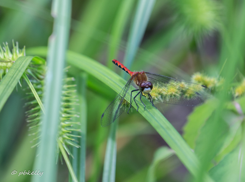 Whiteface Meadowhawk, Sympetrum obtrusum.  I mis-identified this as a Ruby, until the face was pointed out to me.  They are not reported in Lorain County, but I will be on the lookout.