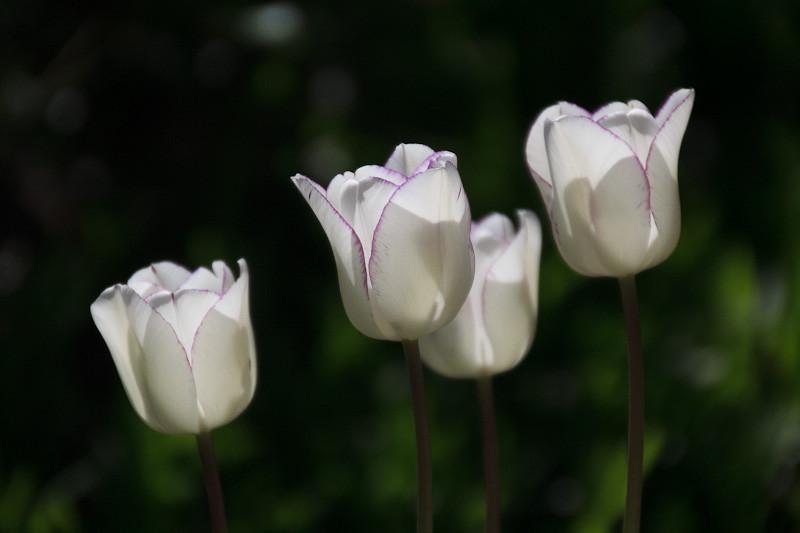 apr 7 -tulips.jpg