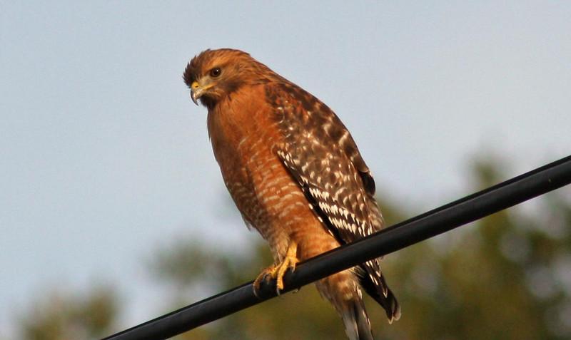 Red shouldered hawk  (near Las Gallinas)