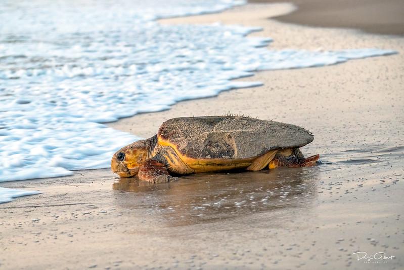 Turtle Tears