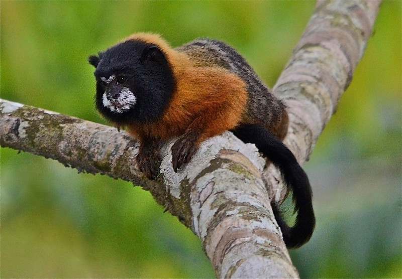 Golden-mantled tamarin (Saguinus tripartitus)